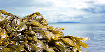 Benefits of seaweed