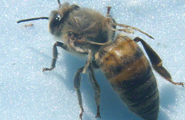 Deformed Wing Virus in Bees